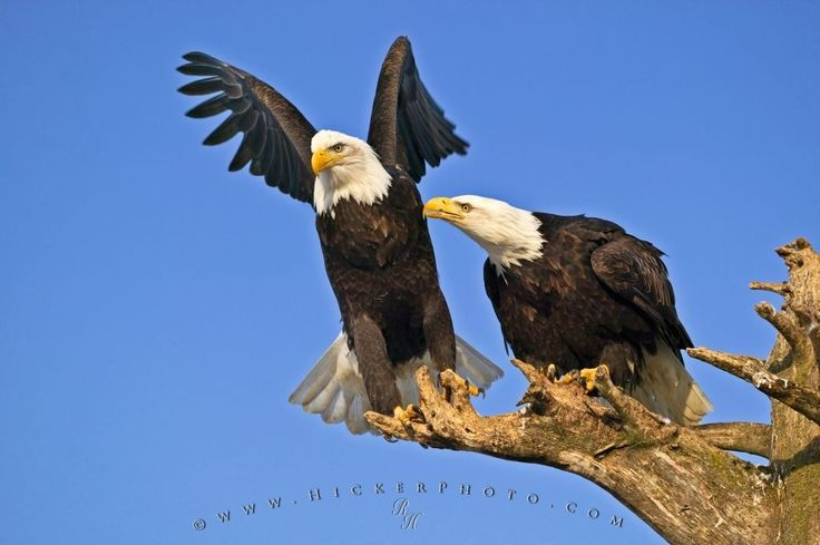 bald eagle | ... hickerphoto com eagle pictures bird behavior pictures of bald eagles