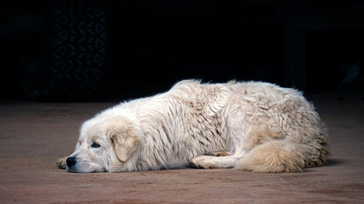 Maremma Sheepdog by Robert McR, via 500px
