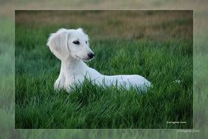 White Dachshund. So cute!