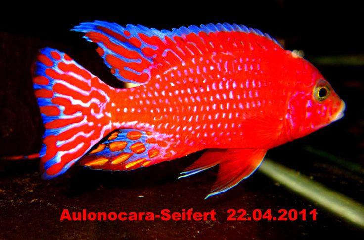 aulonocara firefish - Căutare Google