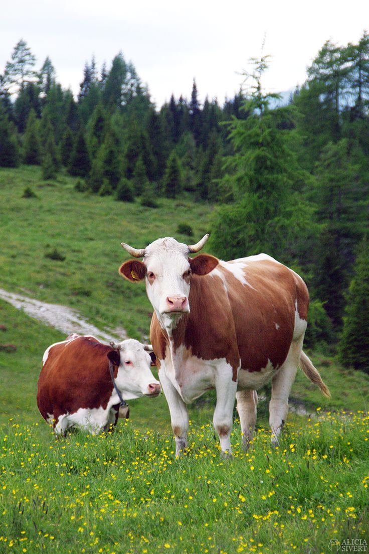 Cows, photo by Alicia Sivertsson.