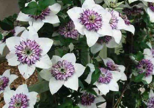 Цветки - Клематис, Ломонос - Clematis (Лютиковые - Ranunculaceae) Клематис по праву считается королевой лиан.