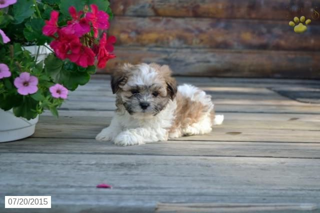 Shichon Puppy for Sale in Ohio #BuckeyePuppies