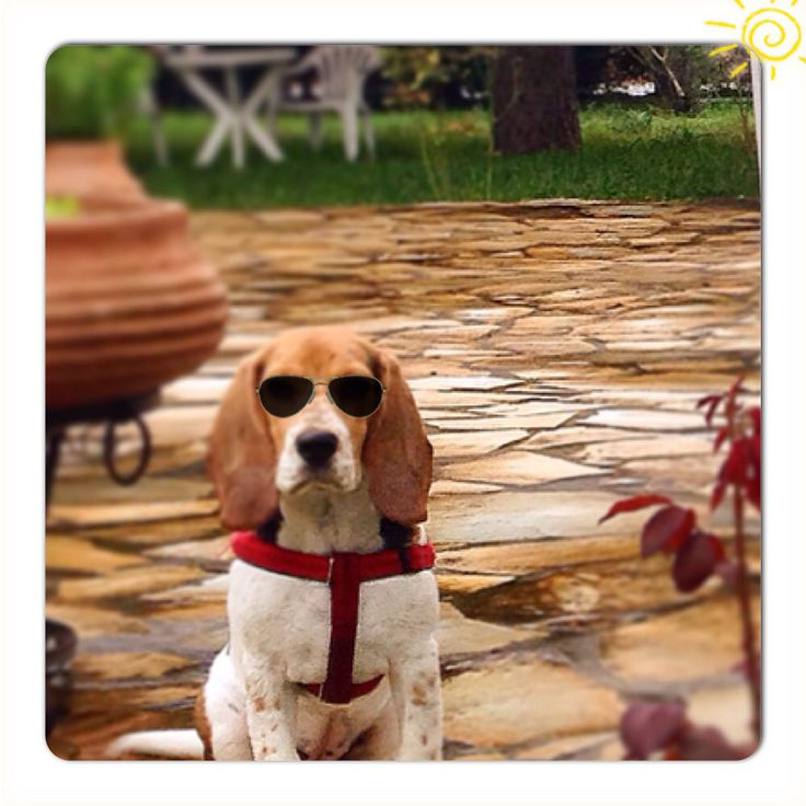 Celine... My beagle  we also call her John   #john #lennon #celine #puppy #dog #beagle #greece