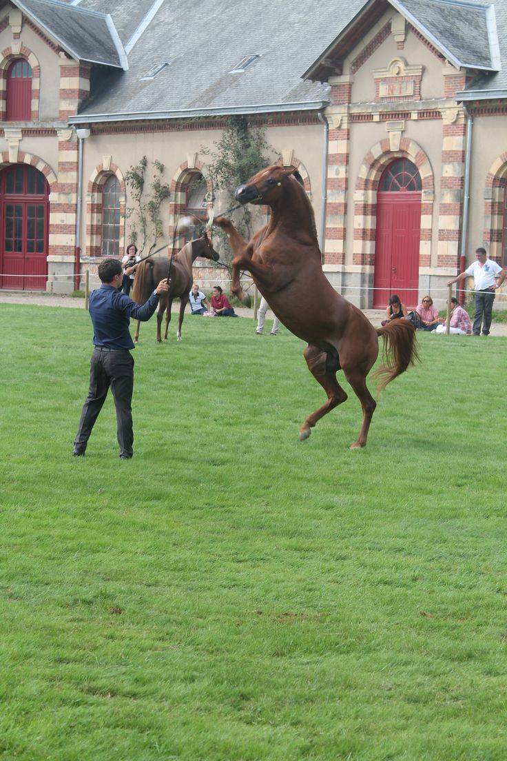Normandy Horse Day 2014 Saint-Lô Puissance du cheval arabe