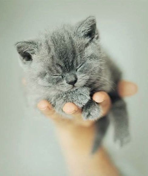 Sleeping gray kitten