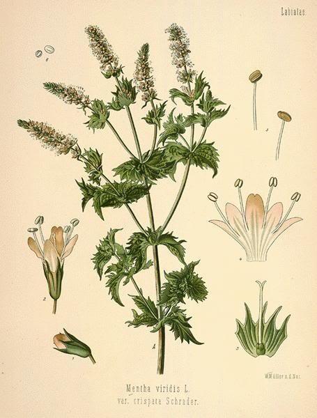 スペアミント, Mentha spicata (Spearmint)