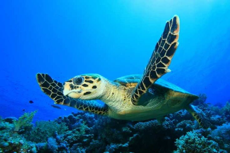 Plastic pollution continues to kill marine turtles around the world as they mistake plastic debris for prey.