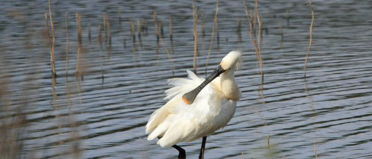 """Spoonbils live in the lagoons of Ria Formosa Natural Parc all year around. One of the houses of Casa Flor de Sal is called """"Spoonbill House""""."""