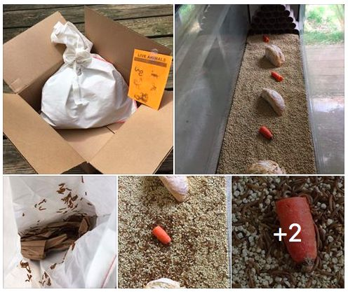  Warning ⚠️ {This video may gross you out!} but I don't care  lol. The MealWorm Farm is up and running!  This package came today, and it was better than receiving a dozen of roses ! Seriously, for those who really know me, know this is a true fact!  To find out more about our new MealWorm Farm and why I choose to start one, check it out on my Website & Pinterest ✔️ #ThisIsMe #DandeLionEssentials #BackYardHomestead #MealWorms #MealWormFarm #Organic #AMAZON #WomenWhoFarm #HomesteadF