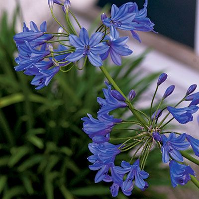 These vibrant indigo seaside flowers prove that creating a garden that can withstand the elements of the sea is all in the selection of plants.