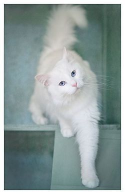 This guy's going in our next book.  Did you know that some white cats with different colored eyes are deaf?  But that doesn't stop them from being wonderful pets!  After all, a cat has lots of senses to use!
