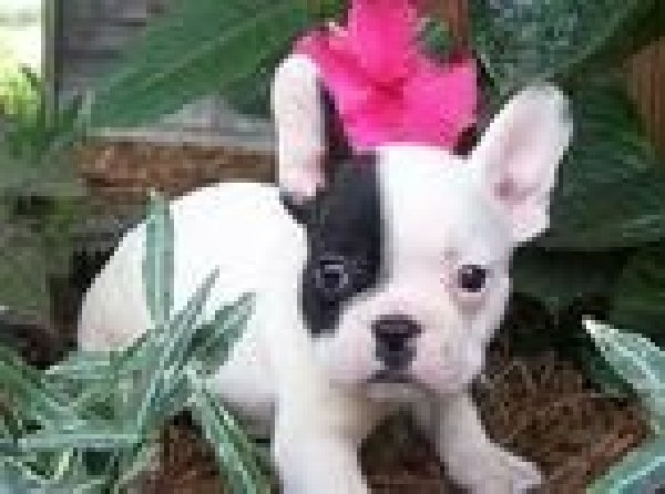 French Bulldog Puppies For Adoption   cute and adorable french bulldog puppies for adoption Picture