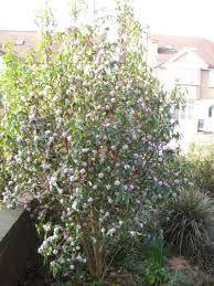 Dec or Feb flowering Daphne bholua