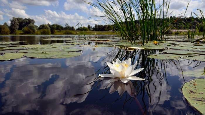 Цветы лотоса фото - Цветы картинки букеты цветов