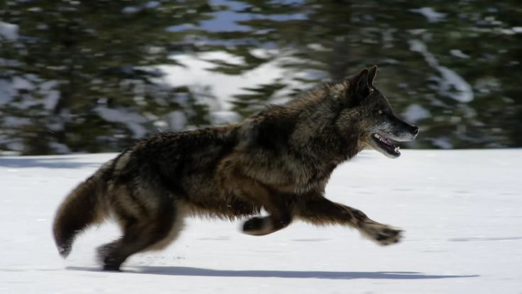 Hunting With The Dark Wolf.... http://channel.nationalgeographic.com/wild/wild-yellowstone/videos/hunting-with-the-dark-wolf/