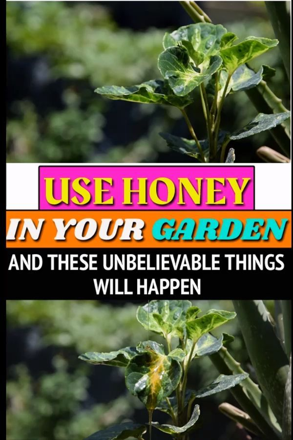 Honey Is Known For Its Culinary And Medicinal Benefits From Thousands Of Years But Did You Know There Are Ways To Use Honey In The In 2020 Pflanzen Garten Krauterbeet