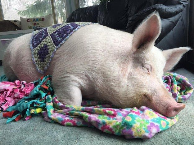 """""""Pig ON a blanket, pig in a blanket, same thing."""" 