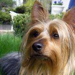 Australian Silky Terrier desktop
