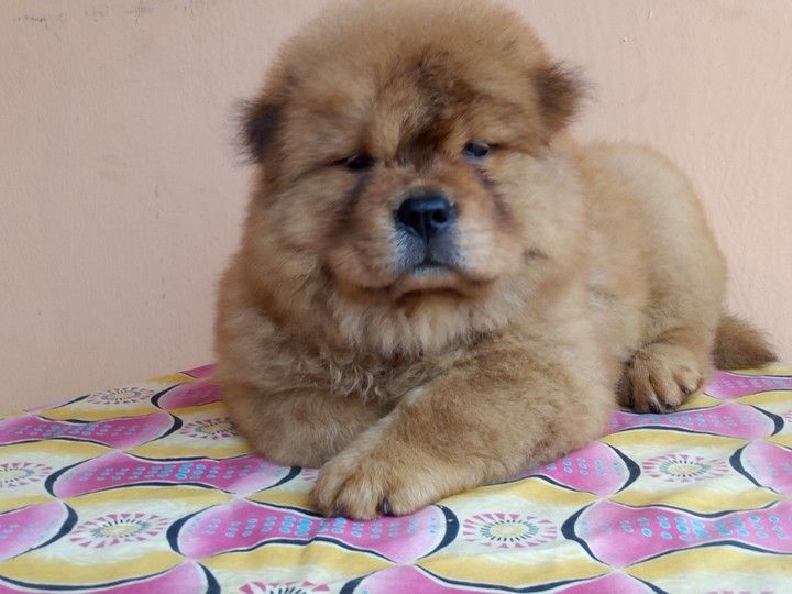 A Chow Chow Lover Will Be Able To Know The Temperament Of The