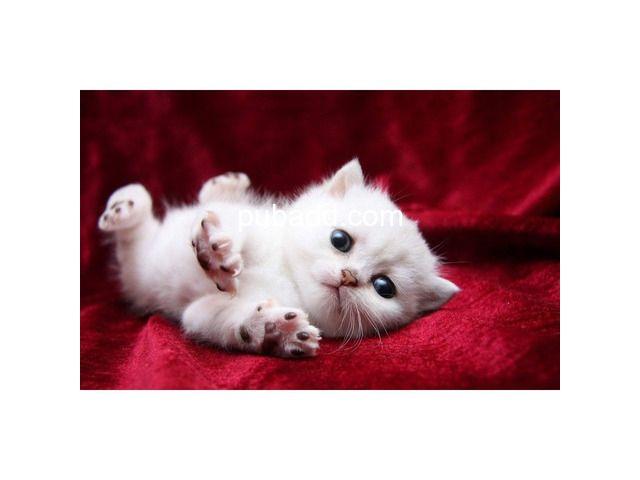 Buy Persian Kitten Blue Eyes Persian Kittens Kittens White