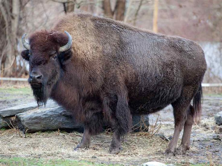 Bison | Bison Pictures, Facts, and information