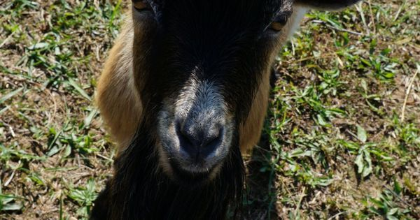 8 Things to Know Before Owning a Buck Goat Goats Milk Goats Buck Goat Nigerian Dwarf Goats Pinned at November 28 2016 at 06:18AM
