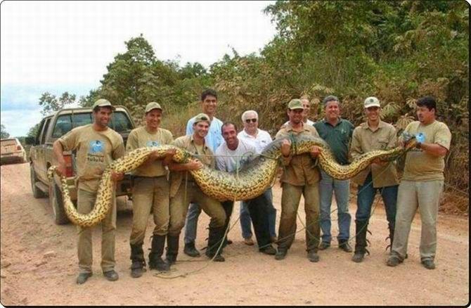 12. L'anaconda geant qui mesure 12 mètres de long et Rupert le maine coon de 14 kilos