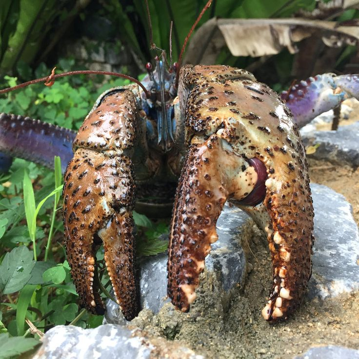 Okinawa Coconut Crab -- ''The pinching force of the largest coconut crab is almost equal to the bite force of adult lions,' said marine biologist Shin-ichiro Oka of Japan's Okinawa Churashima Foundation, who led the research published in the journal PLOS ONE.' [800 x 800] [OS]