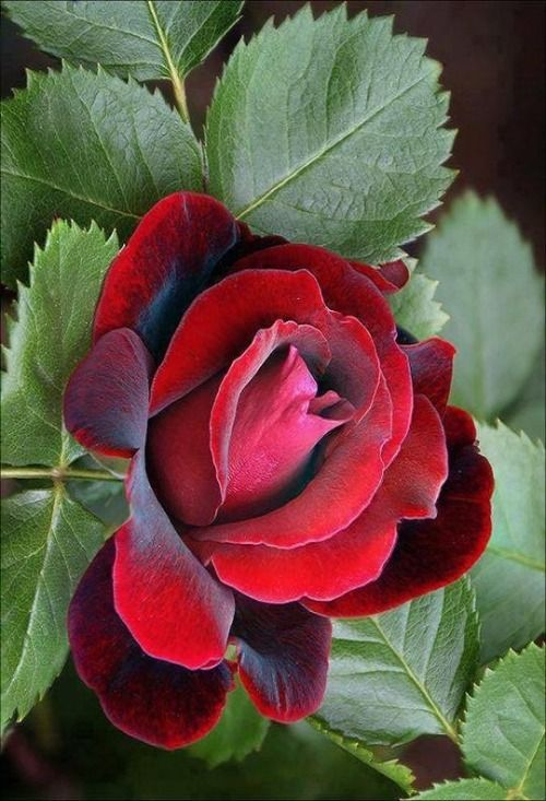 "best beautiful ""redroses"" images on, Beautiful flower"