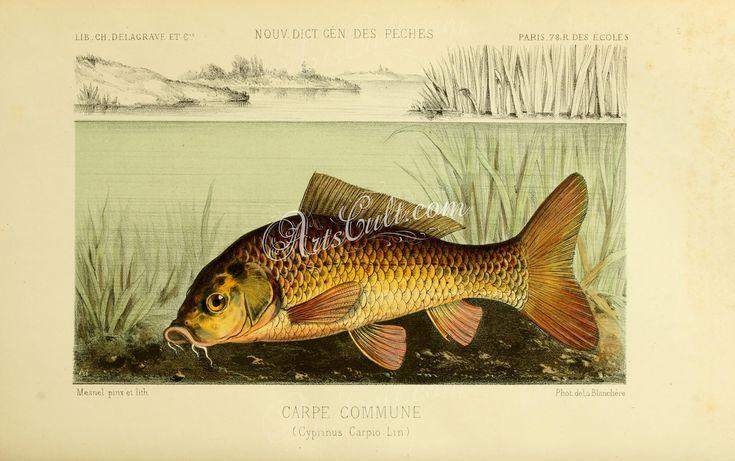Common Carp      ...