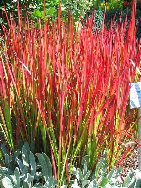 Japanese Blood Grass - How beautiful this would be in a grouping or in a container