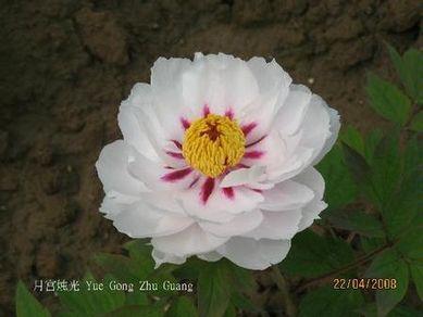 Paeonia rockii 'Yue Gong Zhu Guang'