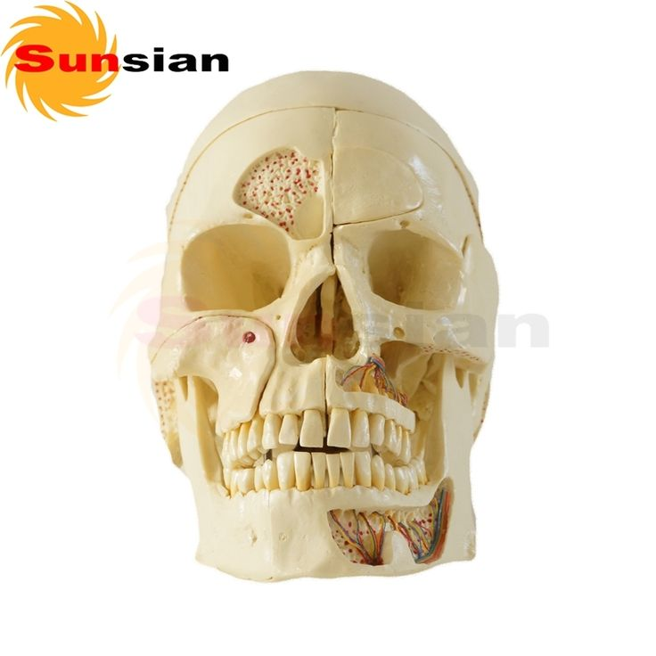 (220.00$)  Buy here - http://ai9jj.worlditems.win/all/product.php?id=32740188726 - 112029 Skull Model 10 Parts ,human anatomical skull model,model of the medical skull
