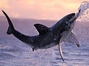 jump jump jump!: Great White Sharks, Ocean Wonder, Sharksst Rayssawfish, Amazing Photography, Sharks Weeks, Greatwhiteshark, South Africa, White Beautiful, Animal