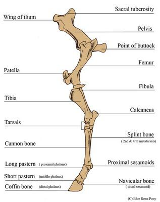 Forever Horses: Anatomy of the Equine Hindleg