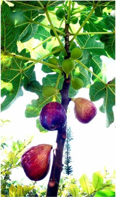 Fig fruit tree with colorful fruits: