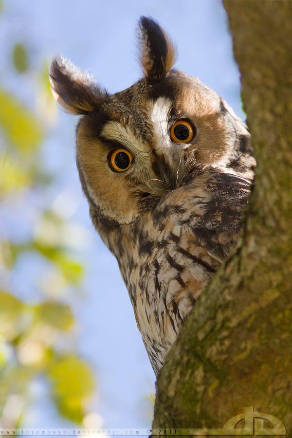 ~~Here's Looking at You ~ Long Eared Owl (Asio otus) by ~thrumyeye~~