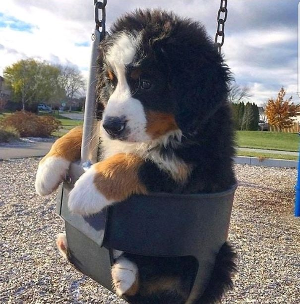Bernese Mountain Dog - Puppy - Someone Needs A Push
