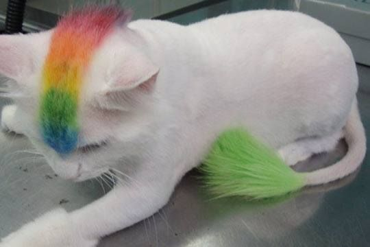 Awesome rainbow mohawk cat...Do you really think that the kitten likes this? NO it doesn't ....