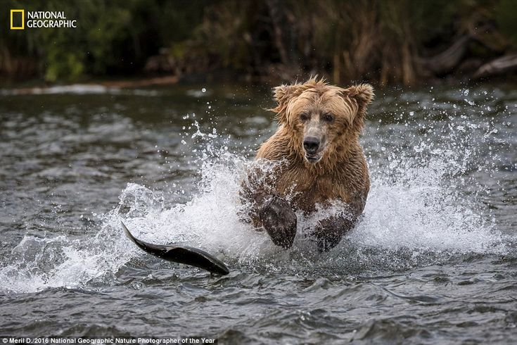 In another one of the pictures in the running, agrizzly bear chases a salmon in the river...