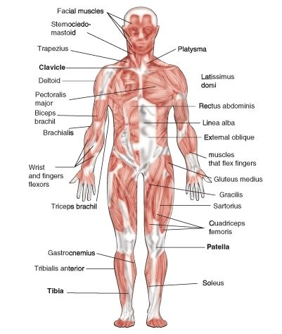 12 best sr a/p 4 images on pinterest | human anatomy, the human, Muscles