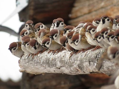 These little ones look hungry, they could benefit from our Wooden Bird Table! http://www.greenjem.co.uk/garden/wooden-bird-table-product