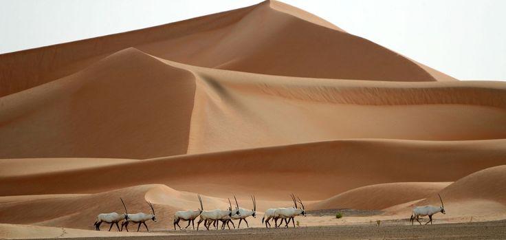 Ein Bild der Würde, Ästhetik und Harmonie – Unwiederbringlich vorbei? 1972 wurden die letzten wild lebenden Arabischen Oryx-Antilopen von skrupellosen Jagdbesessenen gnadenlos niedergestreckt. Aber es gibt noch Hoffnung: Aktueller Bestand in Zoos: 7.000 Tiere. Zudem rund 1.000 in Freigehegen in Israel, Jordanien, Oman, Saudi-Arabien, Bahrain und Katar. Empfehlenswerte Literatur: www.dberona.com
