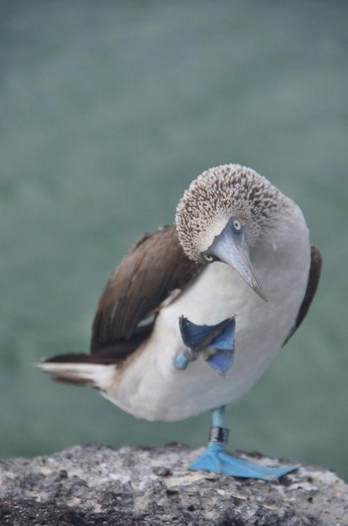 Heeeeeey girl. Blue footed Boobies in Galapagos.