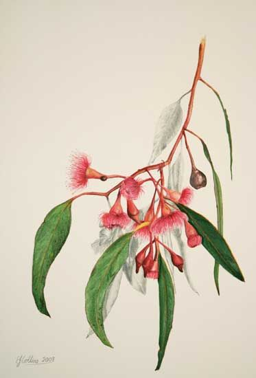 Elizabeth Collins. Flowering Gum 1 Watercolor