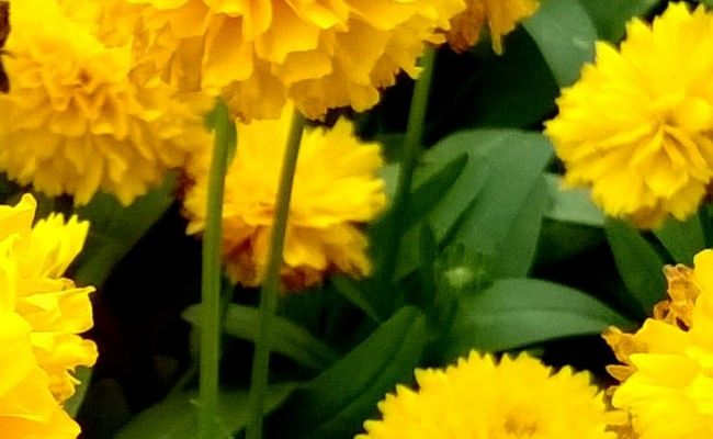 Nachyłek wielkokwiatowy 'Solana golden sphere' (Coreopsis grandiflora)
