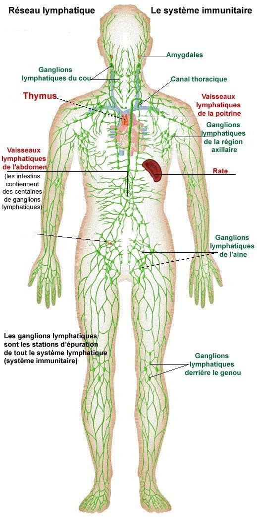 Réseau à sens unique, de vaisseaux lymphatiques qui naissent dans les différents…
