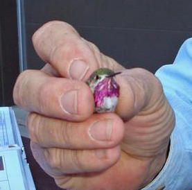 BARRY the BIRDER: World's smallest bird ~ Bee Hummingbird