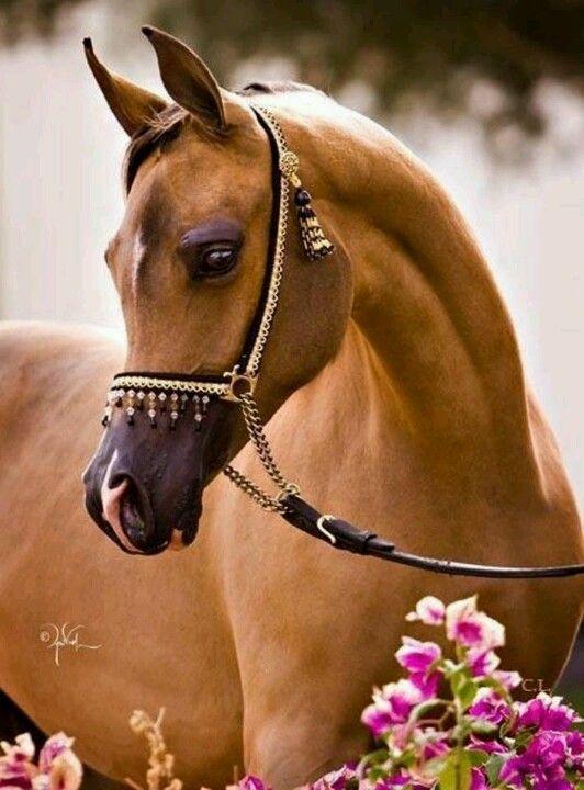 Arabian ...